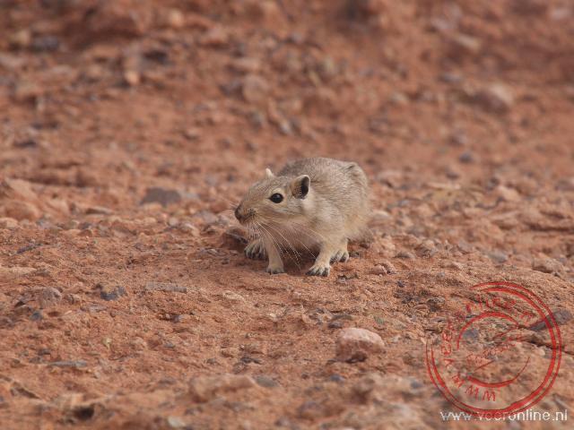 Een woestijnmuisje bij de Charyn Canyon