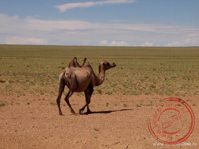 Een kameel steekt de weg over in Mongolië