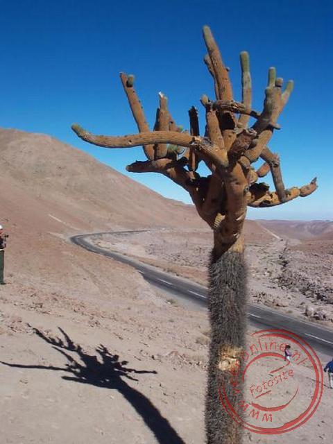Een cactusboom