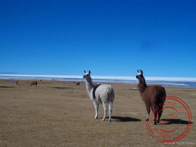 De lamas nabij Taqua aan het zoutmeer van Uyuni