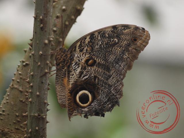 De oogvlekken op de vlinder lijken van afstand op een uil