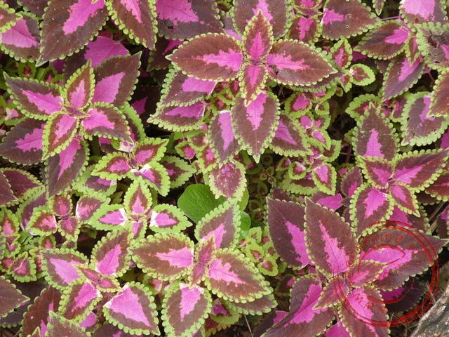 De coleus plant is in Nederland een kamerplant