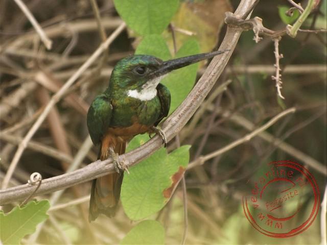 Een ijsvogel in de Pantanal