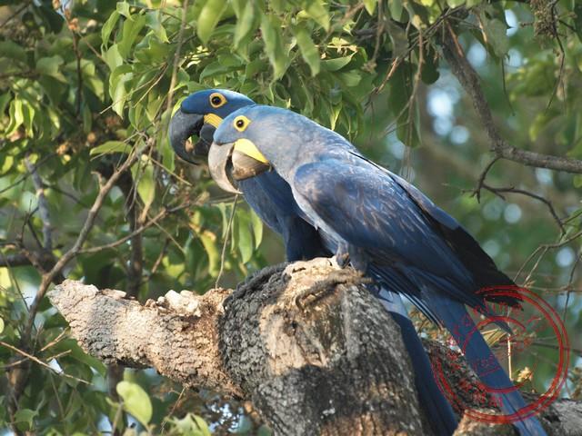 Twee blauwe ara's in Pantanal