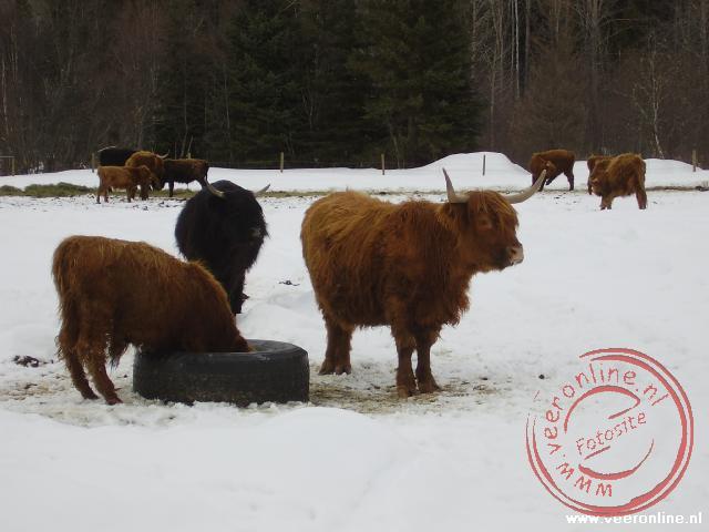 Schotse Hooglanders in Canada