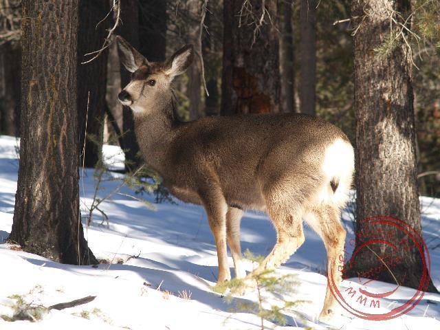 Een Muldeer (hert) in de bossen van Jasper National Park