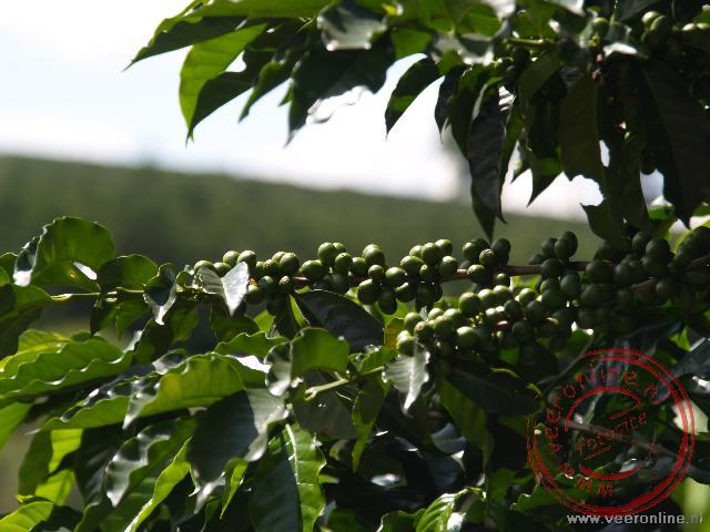 Rondreis Costa Rica - De koffieboon