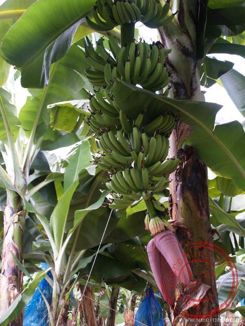 Een tros bananen aan de bananenplant