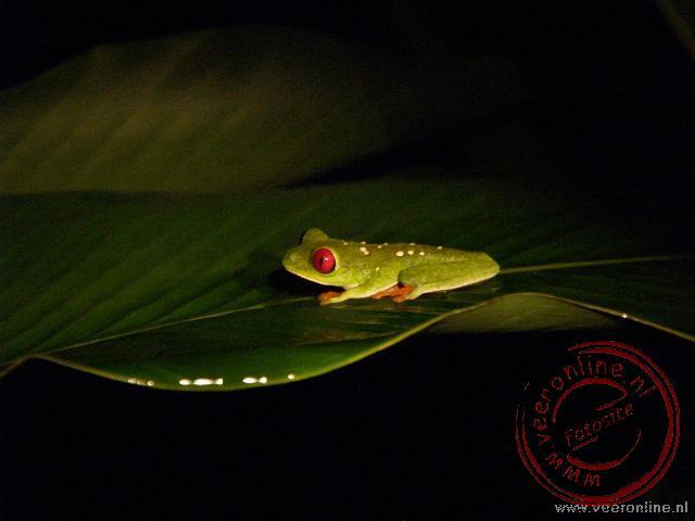 Een Gaudy Leaf Frog bij Cahuita