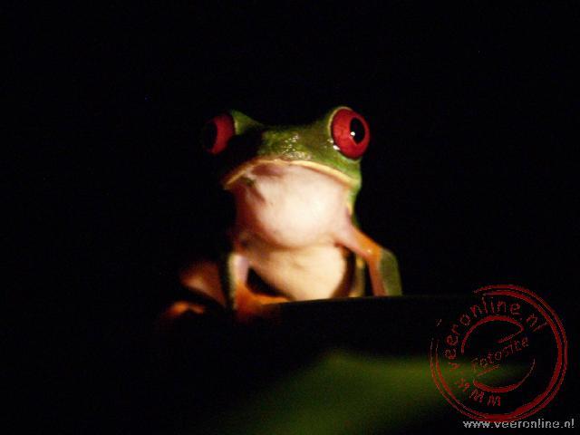 De meest bekende kikker van Costa Rica