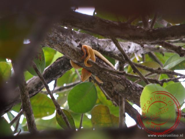 Een yellow Eyelash Palm Pitviper heeft zich stevig genesteld om de boomtak