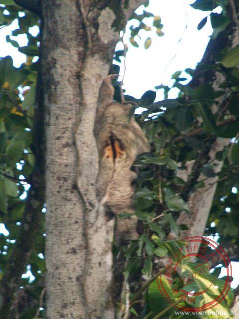 Een luiaard klimt langzaam hoger in de boom