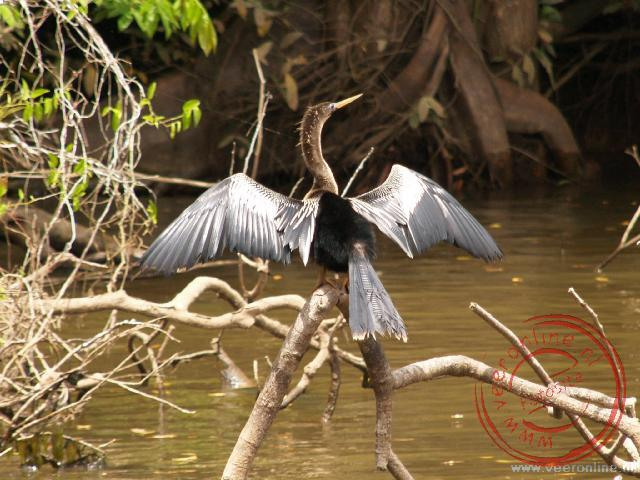 Een slangenhalsvogel droogt zijn veren in de zon