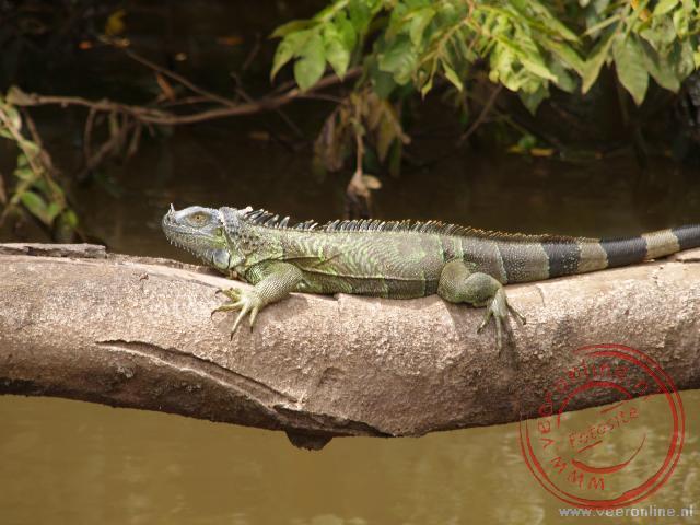 Een groene leguaan op een boomstam op de Rio Frio