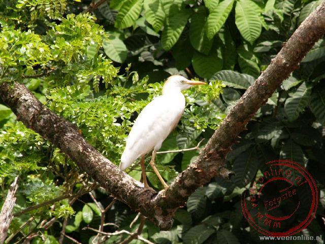 Een witte reiger in Caño Negro, Costa Rica