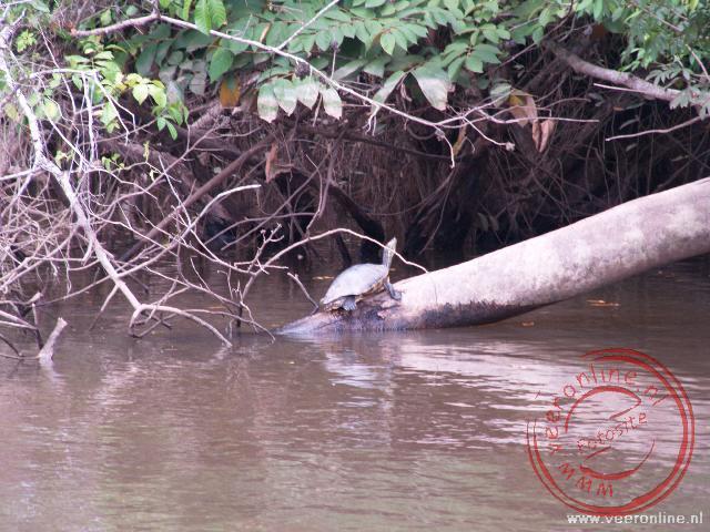 Een Black River Turtle in Caño Negro