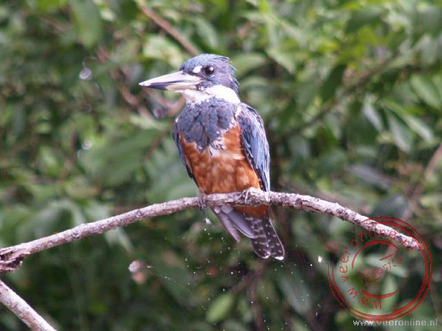 Een IJsvogeltje in het natuurgebied Caño Negro