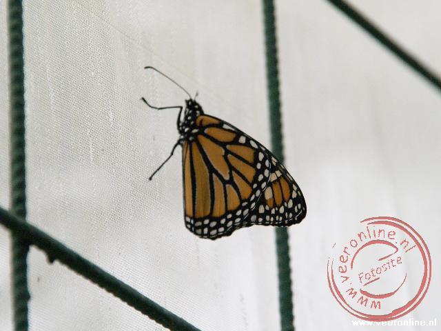 Een Monarch vlinder in Monteverde