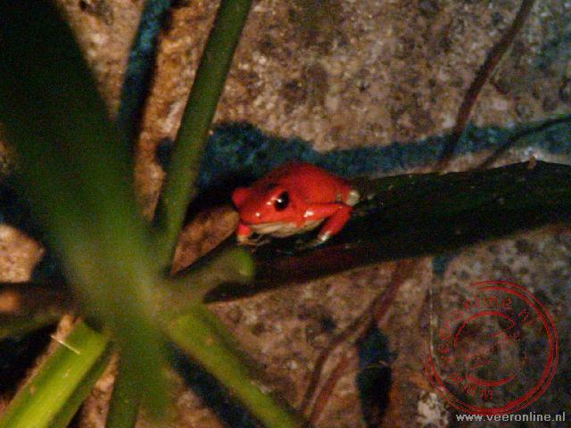 Een hele kleine fel rode kikker in Monteverde