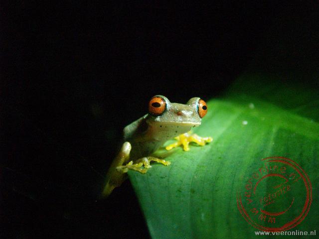 Deze kikkersoort is de bekenste kikker van Costa Rica