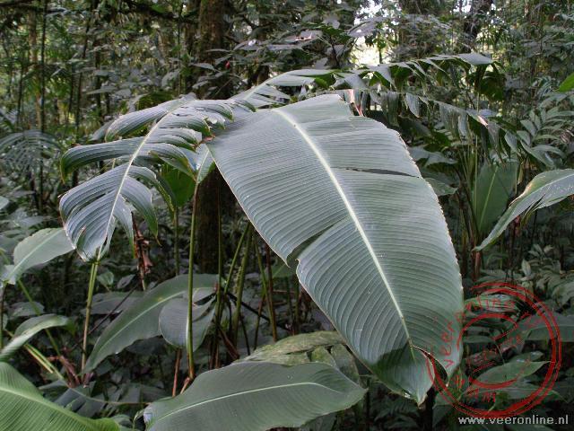 Heliconia bladeren. Hoe groter het blad, hoe meer licht en water er opgevangen kan worden in de jungle
