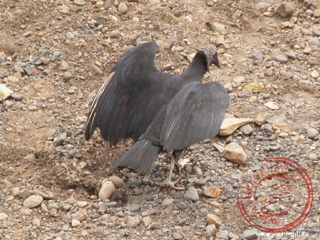 Een gier spreidt zijn vleugels
