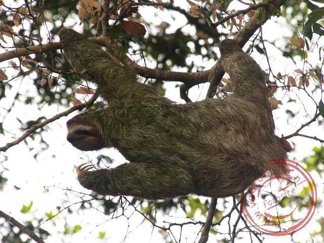 Een luiaard hangt in de boom