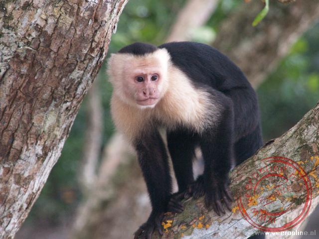 Een White Throated Capuchin, oftewel een Kapucijner aap