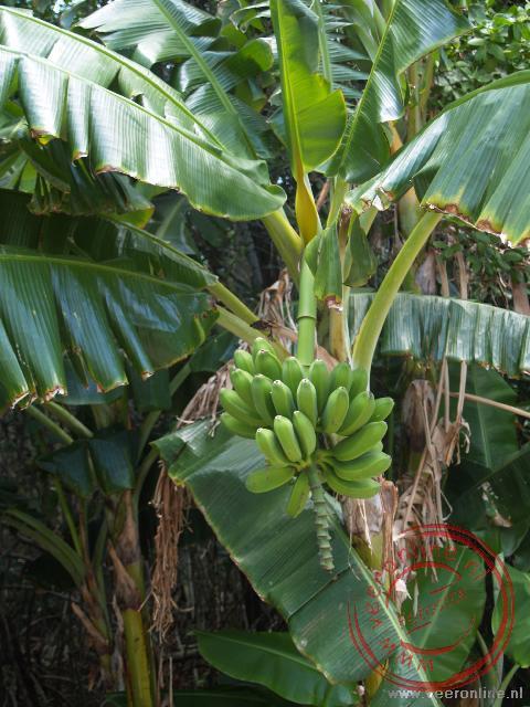 Een bananenboom