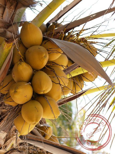 Kokosnoten in de palmboom aan strand