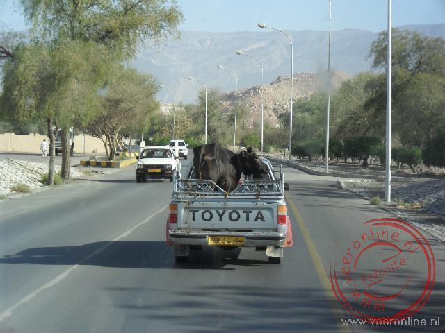 Beesten achterin de auto op weg naar de veemarkt van Nizwa