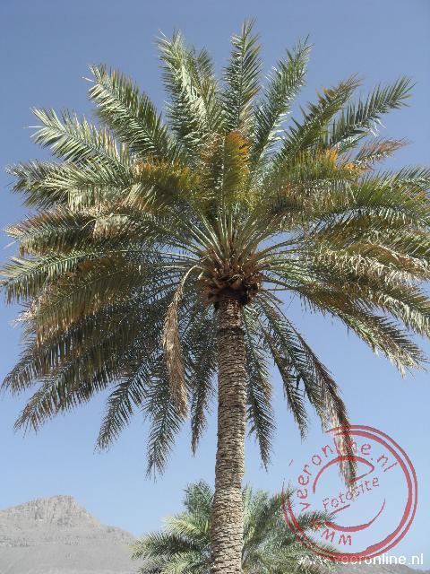 Een palmboom in de oase in Oman bij Birkat Al Mawz