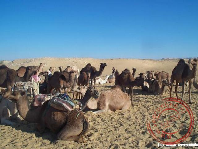 De kamelen voor onze tocht naar de oase