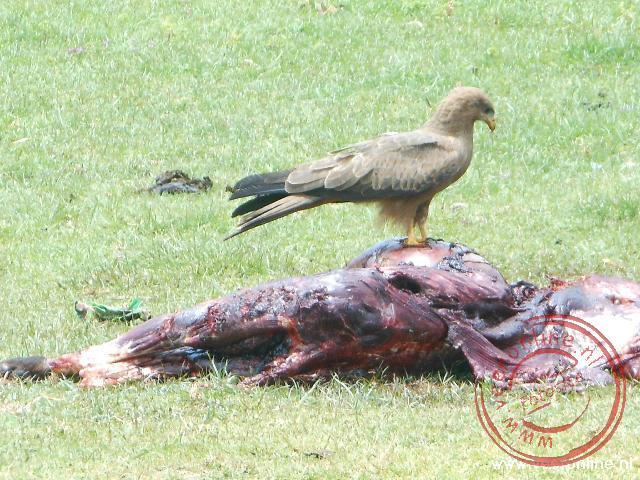 Een Tawny eagle, of bruine steppenarend, op een kadaver