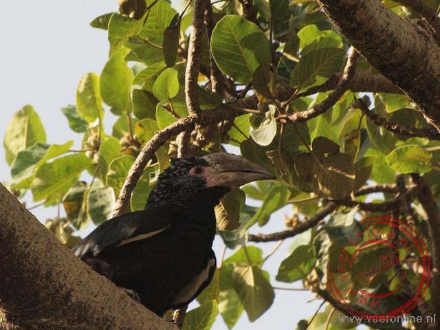 Een vrouwtjes zilderoor neushoornvogel in de bomen bij Bahir Dar