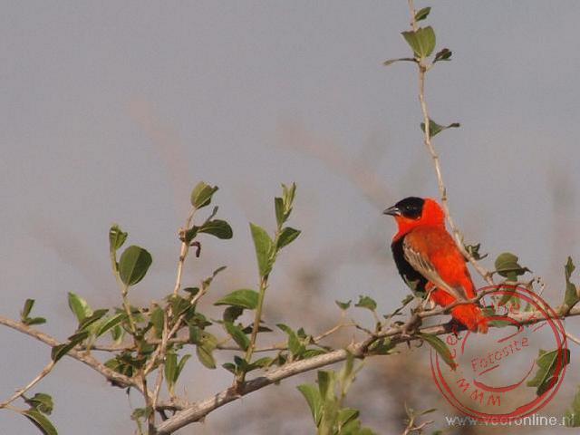De rode bisschop vogel of grenadierwever