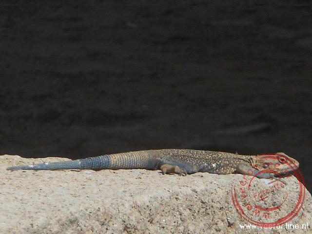 Een Blauwstaart hagedis bij de opgravingen in Axum