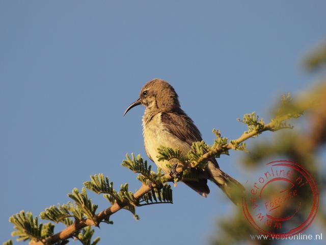 Een vrouwtjes sunbird bij Lake Langano