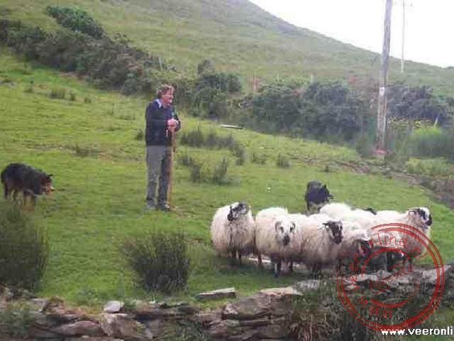 Een demonstratie hoe honden afgericht worden om de schapen te leiden