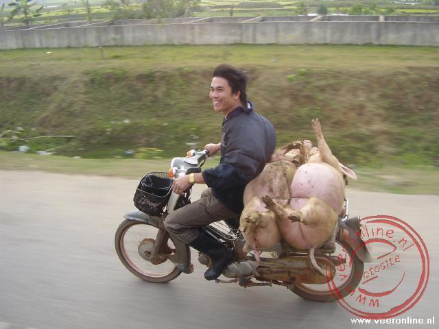 Het vervoer van de nog levende varkens achter op de brommer