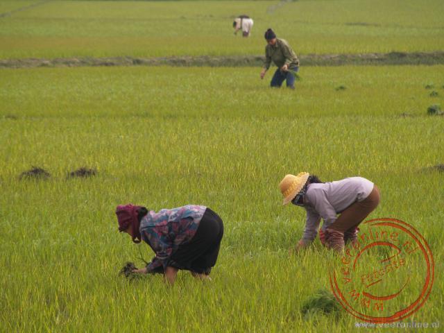 Het rijst wordt bewerkt op het land