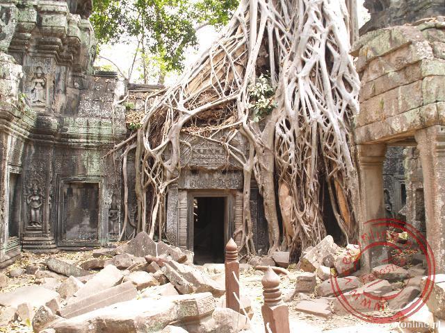 De Ta Phrom tempel is volledig overwoekerd door bomen