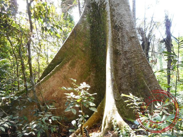 Hoge bomen in het tropisch regenwoud op Sumatra