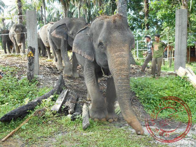 De olifanten gaan op weg naar de rivier om gewassen te worden