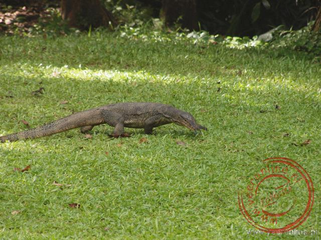 Een varaan loopt door het gras bij de Eco Lodge in Bukit Lawang