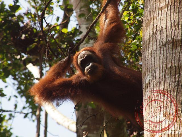 Een jonge Oerang Oetan houdt van bovenaf alles in de gaten