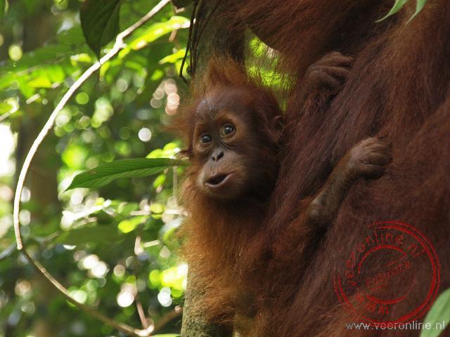 Een kleine Oerang Oetan op de rug bij zijn moeder