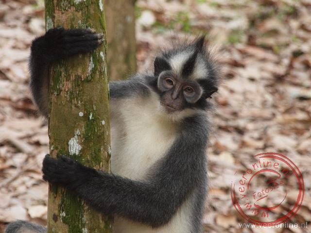 Een Thomas blad monkey komt kijken of er nog iets te halen valt