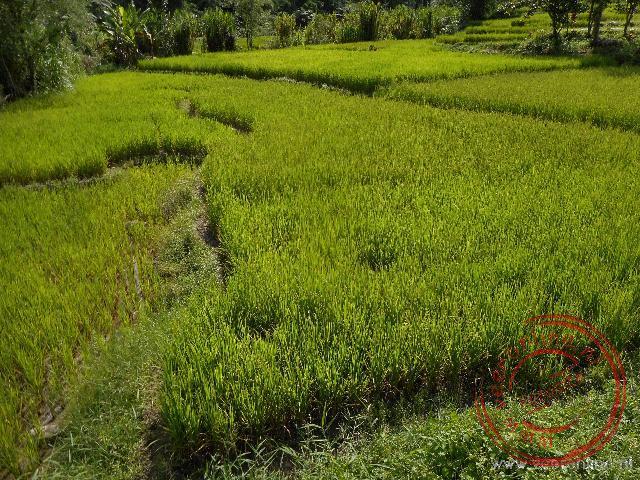 De prachtige groene kleur van de rijstvelden