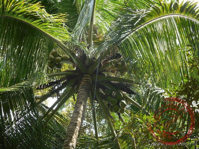 Een aap klimt in de boom om een kokosnoot te pakken